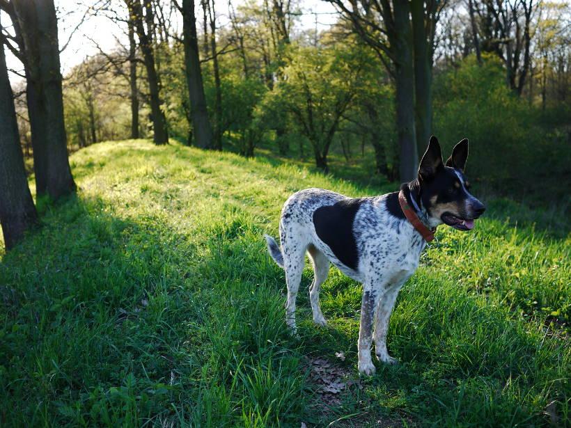 Pies Kuata w lesie