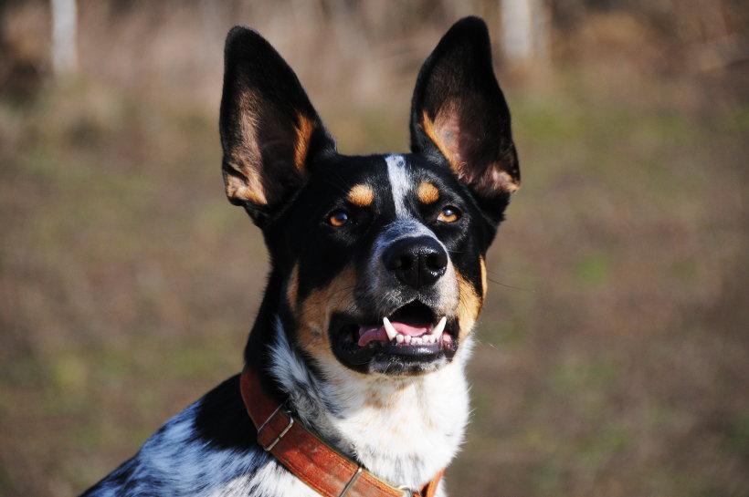 pies prawie Australijski Koolie