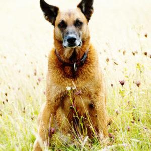 pies służbowy