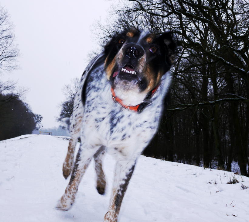 pies biegnie po śniegu