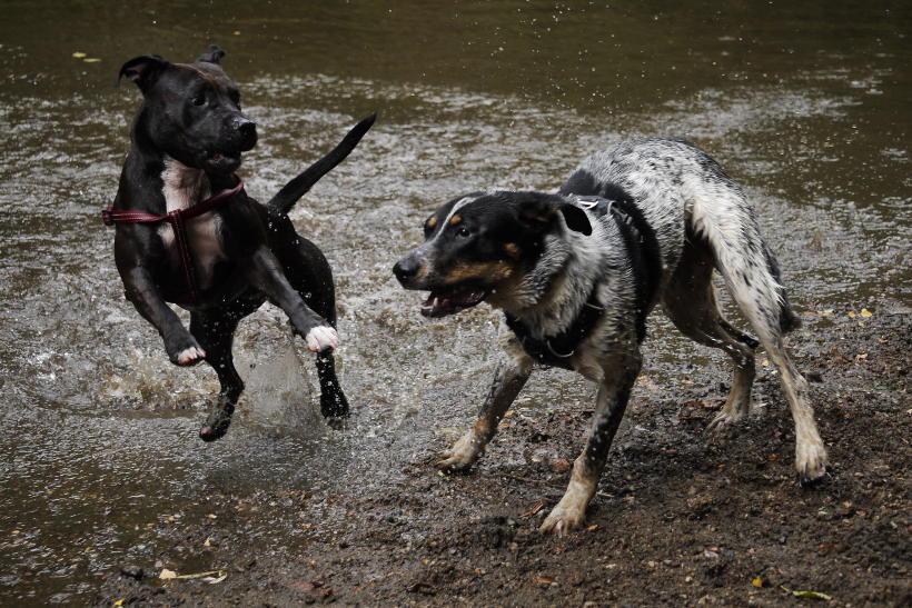 pogryzienie psa przez psa