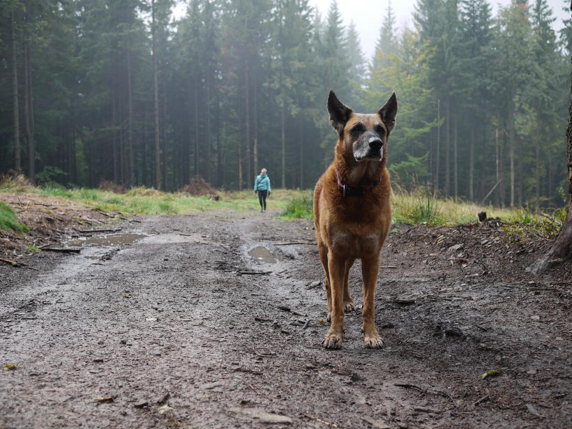 Pies góry