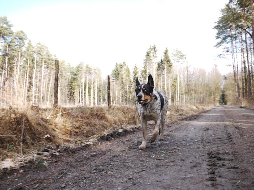 Las Mokrzański pies